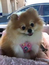 Pomeranian Puppy Price  – Dog Breeds – Pomeranian