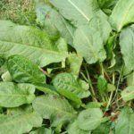 Pruning Azaleas How To Trim Azalea Bushes When To Trim Azaleas Pruning Azaleas Banana Plants Grow Banana Tree