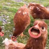 Als kippen zouden kunnen acteren