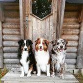 Todo sobre el tamaño inteligente de los cachorros de pastor australiano #australianshe …   – Tiere