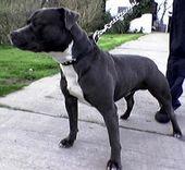 Irish Staffordshire Bull Terrier Terrier Dog Breeds Dog Breeds Bull Terrier
