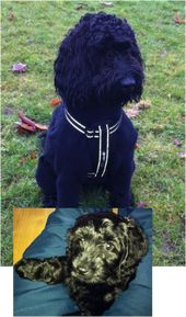 Before and After – THE COCKAPOO CLUB OF GB   – puppies