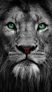 White Lion Images Hd Wallpapers Google Search Lion Images Lion Pictures Lion Wallpaper