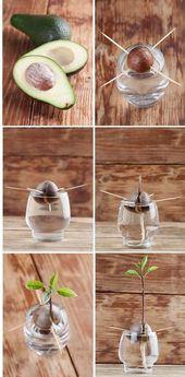 Avocado zu Hause: So erstellen Sie einen Avocado-Baum selbst: