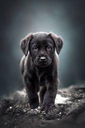 Labrador Retriever negro Cachorro #labradorretriever   – Hunde