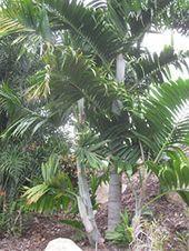 "Rare Dypsis Pembana ""Pemba Palm"" Tree Seedling Tropical Live"