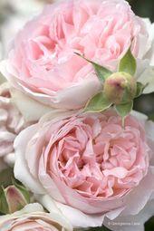 Roses by way of Georgianna Lane