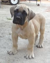 (notitle) – our new Boerboel puppy
