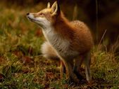 Fox Image, Hokkaido – National Geographic Photo of the Day  – Hair and Beauty