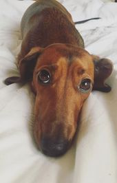 A Lovely Dachshund Dog Laying On Bed