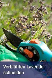 Verblühten Lavendel im Sommer schneiden – #ideen #im #Lavendel #schneiden #Somm…