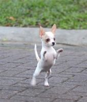 Aren't chihuahua puppies look adorable and funny all the time? Follow us for you…   – Chihuahua
