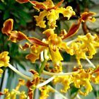 seedling Dendrobium Gouldii Espèces rares orchidée