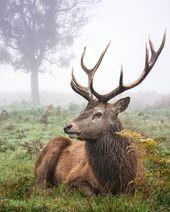 ZU SEHEN: Hirsch im Bushy Park London. Es ist ein erstaunlicher Park, die Tierwelt ist fantastisch