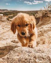 "Golden Retriever sur Instagram: ""À l'affût @ourdogdenver"" #funnypuppygold ……   – Welpen"