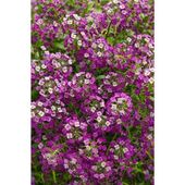 Proven Winners Dark Knight Sweet Alyssum Lobularia Live Plant Purple Flowers 4 25 In Grande Lblprw1057520 The Home Depot Annual Plants Annual Garden Edging Plants