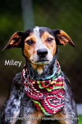 Adopt Miley On Blue Heeler Dogs Australian Cattle Dog Blue Heeler Dog Adoption