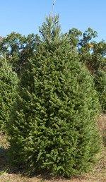 Douglas Fir Christmas Tree Prices Tree Farms Evergreen