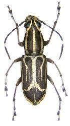 Anthribidae Australische Region Insekten Tiere Fotos