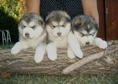 Alaskan Malamute Puppies .  – Alaskan Malamute