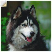 Artland Premium Wandfolie »Kattobello: Husky Portrait« online kaufen | OTTO