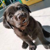 Black Labrador Puppy 💖  – dogs