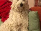 Multigenerational Standard Labradoodle Labradoodle Puppy