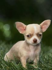 Chihuahua Puppy Photographic Print at Art.co #chihuahua Puppy Photographic Print…  – adorable!