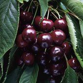 Black Dawn Cherry Tree – Duo Bigarreau Napoleon / Schwarze Morgenröte   – Garden & Landscape How To's