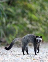 Civeta de palma enmascarada, Tailandia. Coca-Cola y Som Smith Fotografía y cuaderno de viaje   – Fantastic Animals