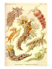 Moluscos de gasterópodos de nudibranquios Láminas por Ernst Haeckel   – ศิลปะสื่อผสม