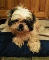 Adopt Macey On Shih Tzu Dog Shih Tzu Shih Tzu Puppy