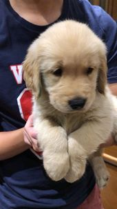 Pepper the Golden Retriever puppy 8 weeks old.   – Doggos