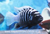 SEE VIDEOS ,@ TONYSAFRICANCICHLIDS.CO.UK , DELIVERY NOW ONLY £15.00,QUALITY MAL… – Aquarium ideas