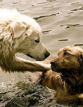 Golden Love Animals Dog Love Animal Lover