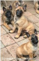 Belgian Shepherd Puppies For Sale Australia Dogz Online