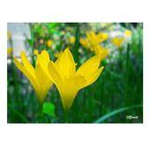Yellow Zephyranthes – Rain lilies ♾ #yellow #yellowflowers #yellowflower #zeph…