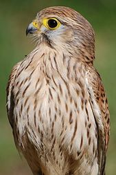 Cernícalo vulgar, hembra. Falco 003.jpg   – Aves rapaces y carroñeras