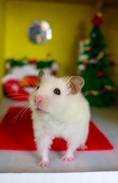 Syrian Hamster – cute