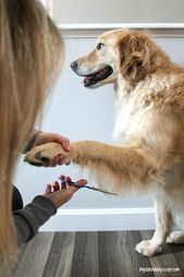 How To Trim Your Golden Retriever S Front Leg Feathers Dogs