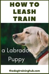 Learn how to leash train a Labrador puppy. Once your puppy is around eight weeks…   – Doggies