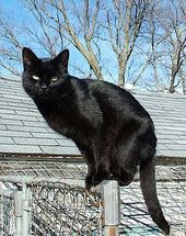 Balance. Beautiful black cat shiny coat like my Rocky.