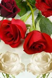 نتيجة بحث الصور عن تحميل مناظر طبيعية متحركة مجانا Rose Flowers Plants