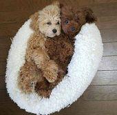 Cockapoos: ¡el perro más lindo del mundo!   – Hunde Bilder
