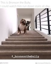 Pitbull is Amazing at Stairs