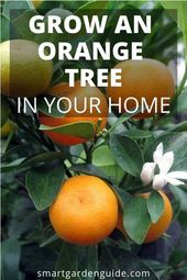 How To Care For An Indoor Orange Tree. Growing citrus trees indoors provides me …  – Century Home
