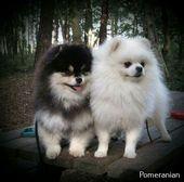 Toy Pomeranian Puppy  – Pomeranian