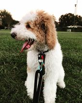 Simon A Apricot And White Parti Standard Poodle Puppy From Emerald