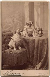 3 Happy Pugs Dogs Tongues Wagging Bow Ties Cool Harrisburg Pa