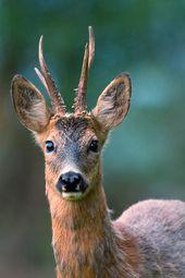 Roebuck en el cambio de abrigo ND   – animals